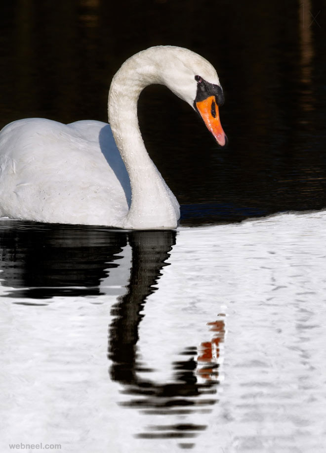 swan reflection photography by selimovic