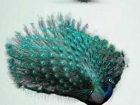 10-best-ads-peacock-birds-magazine