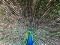 11-peacock-photography-by-piccaya