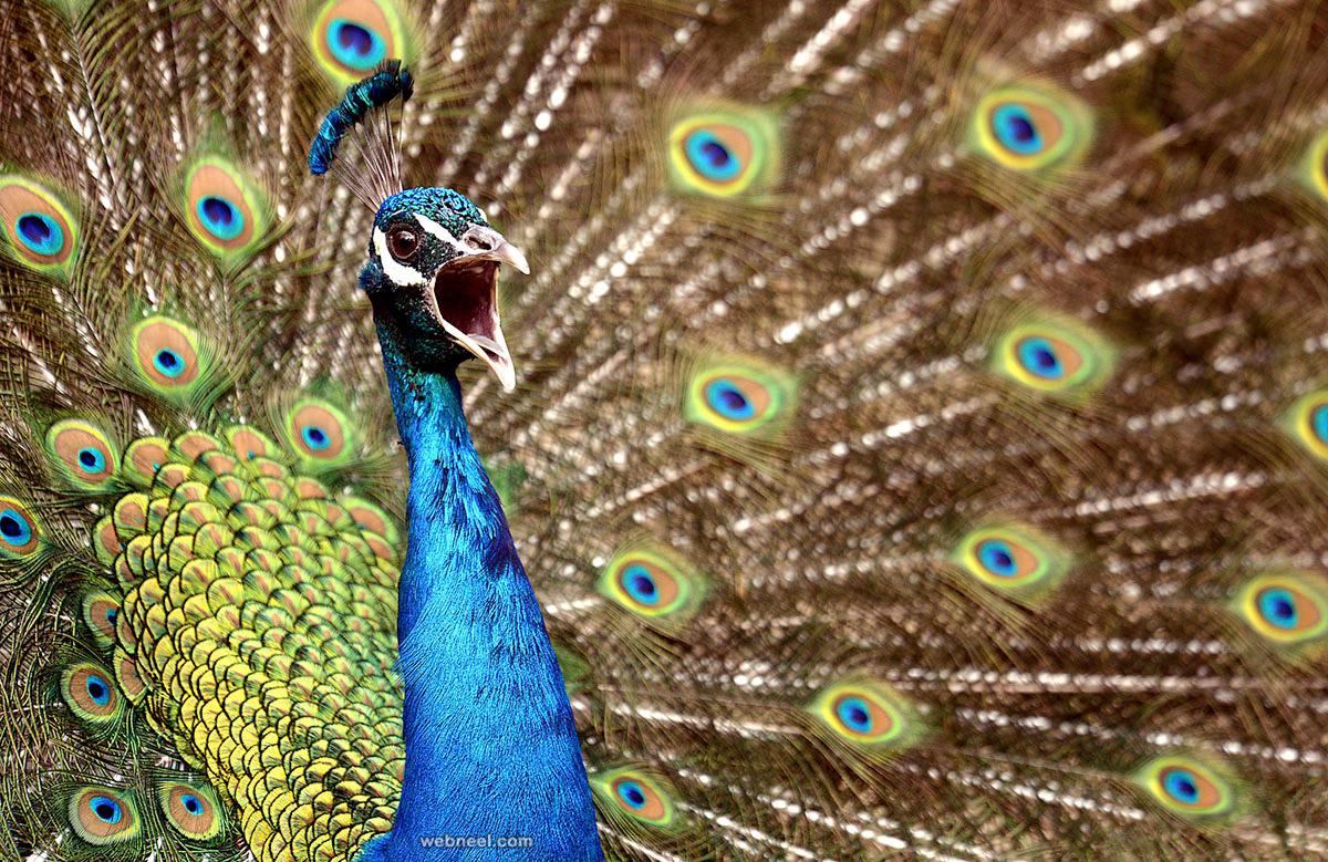 Beautiful peacock feather 13 full image - Beautiful peacock feather ...
