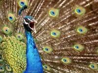 13-beautiful-peacock-feather
