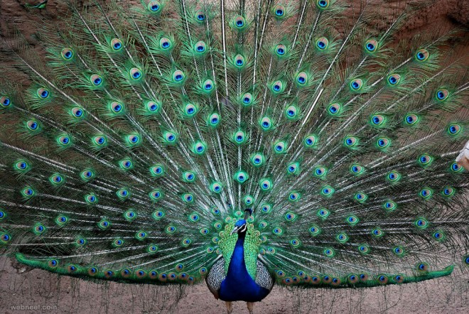 30 Beautiful Peacock Photos and White Peacock Pictures