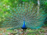 15-beautiful-peacock-photo