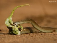 15-snake-wildlife-photography-by-gregdutoit