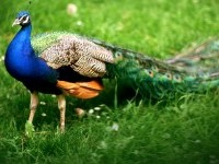 22-beautiful-peacock-picture