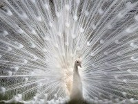24-white-peacock-picture