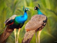 3-beautiful-peacock-photo-by-sibiar
