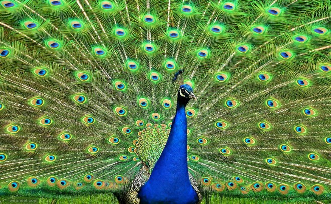 beautiful peacock photography