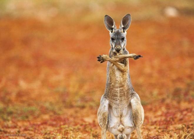 kangaroo wildlife photography