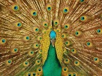 5-beautiful-peacock-photo