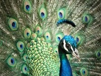 7-beautiful-peacock-photo-by-androidkitteh