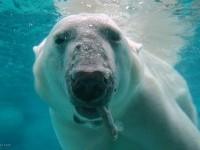 8-polar-bear-wildlife-photography
