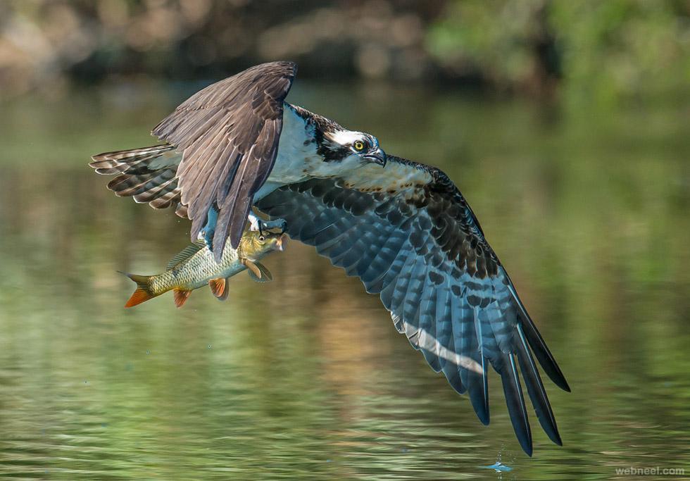 eagle fish bird photography
