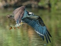 12-eagle-fish-bird-photography