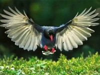 2-bird-photography-taiwan-blue-magpie