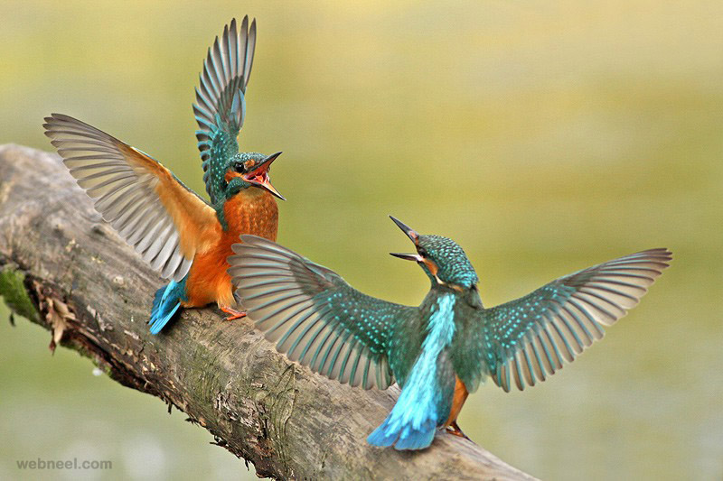 king fisher fight bird photography by lukasz