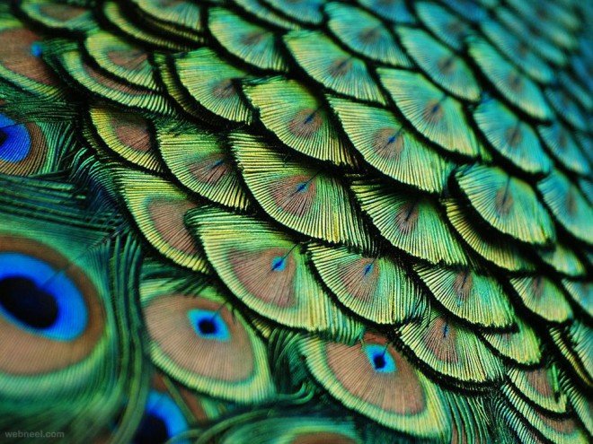 peacock feathers photography