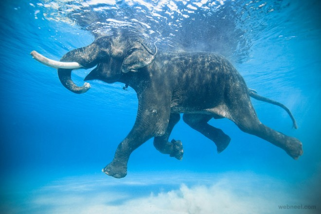 Elephant underwater photography 14 publicscrutiny Image collections