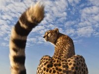 7-cheetah-wildlife-photography