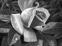 1-rose-drawing-stephen-ainsworth
