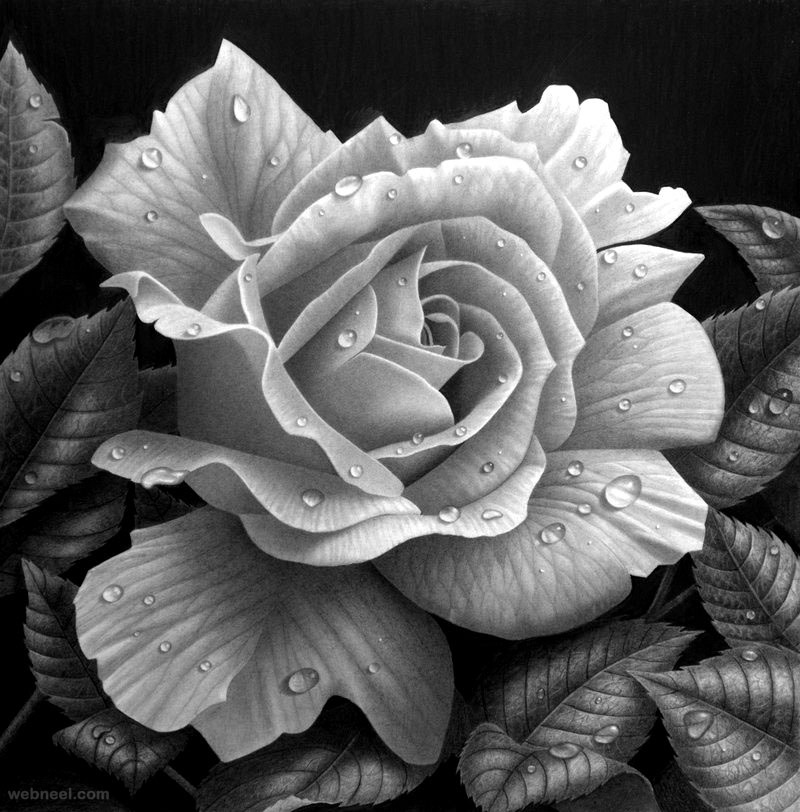 rose drawing stephen ainsworth
