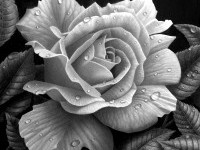 2-rose-drawing-stephen-ainsworth