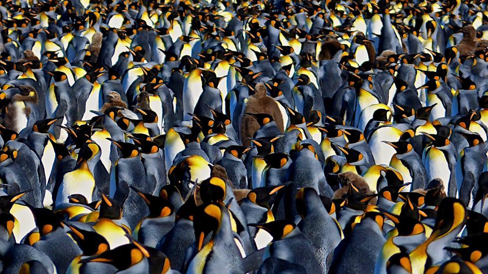 penguin nature photography by lawerence small