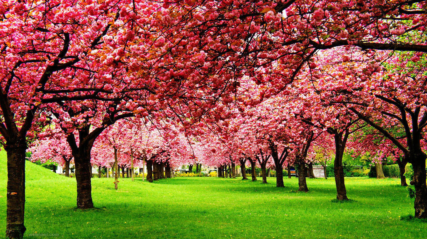 nature photography cherry tree