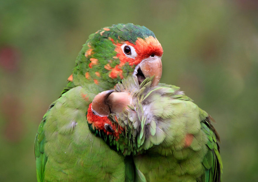 7-parakeet-love-wildlife-photography-by-dirk-kanz