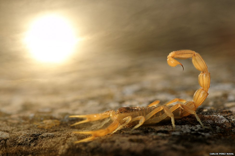 8-scorpion-wildlife-photography-by-carlos-perez-naval