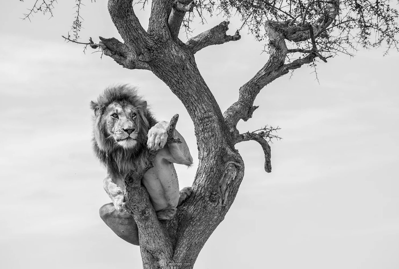black and white wildlife photography lion by jay rush