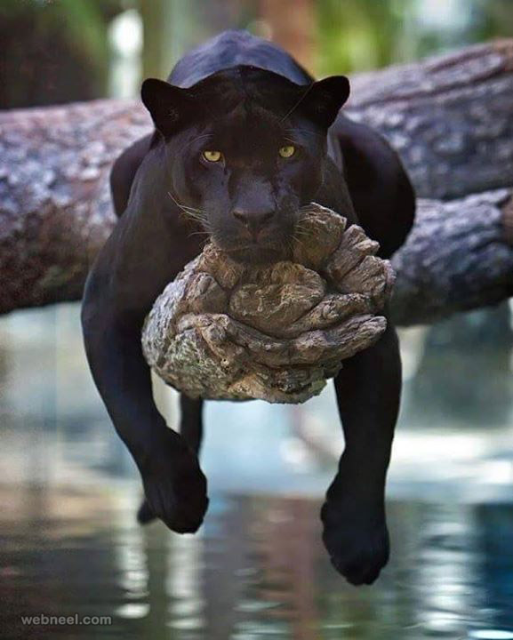 black panther wildlife photography
