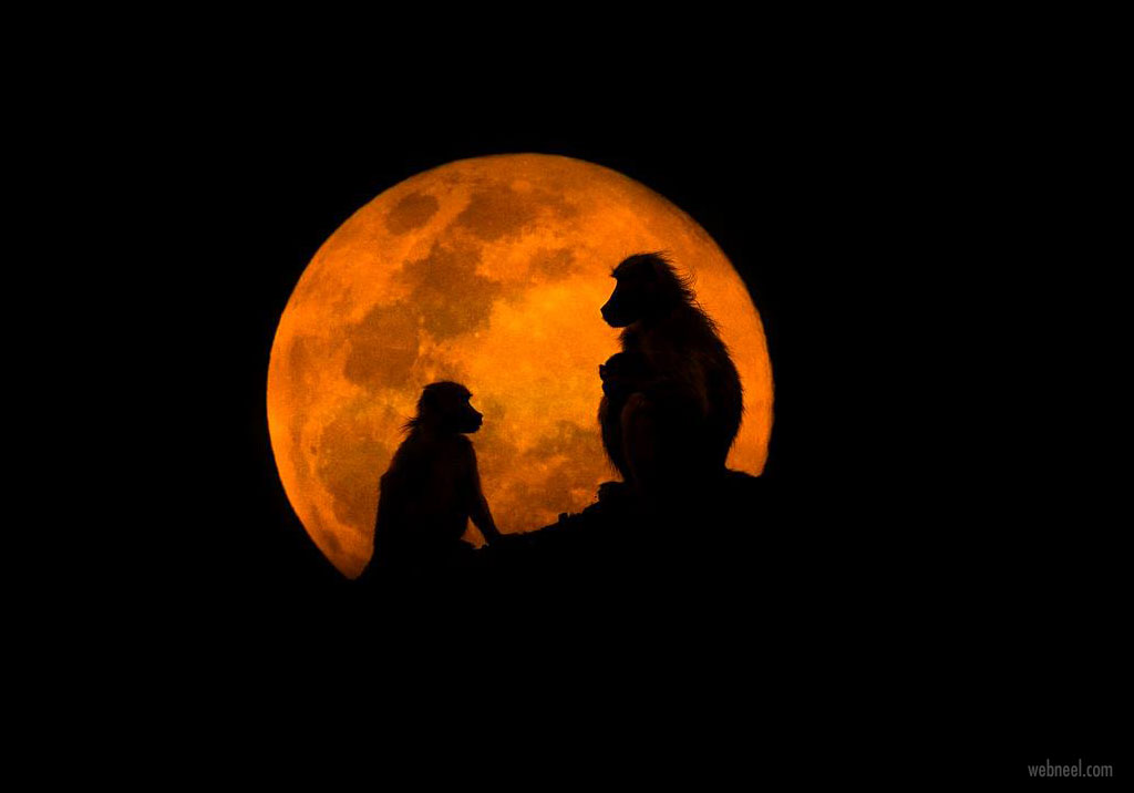 silhouette photography baboons