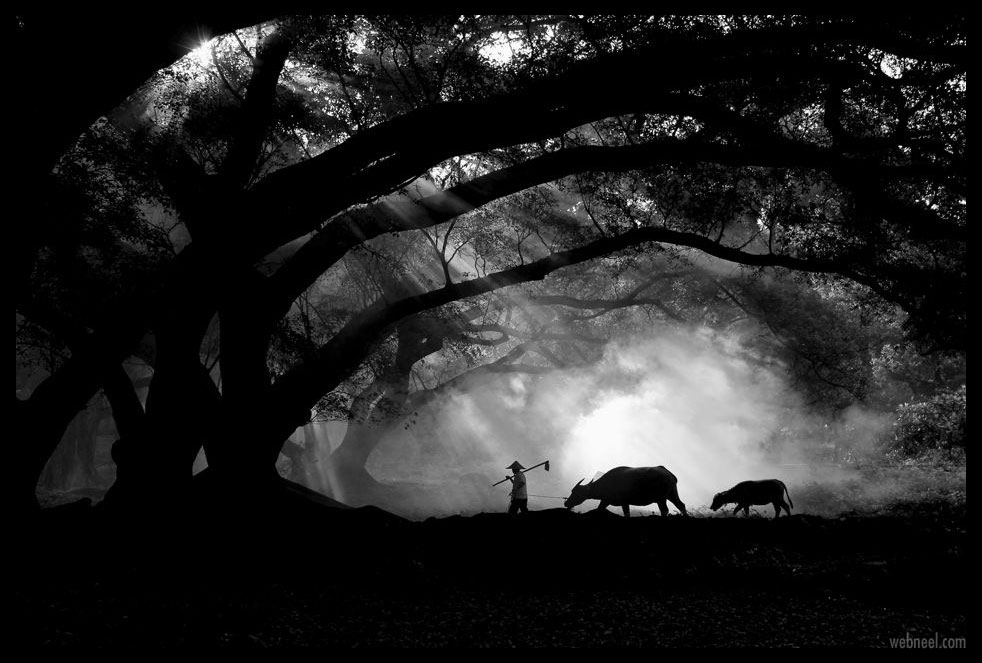 silhouette photography farmer buffalos