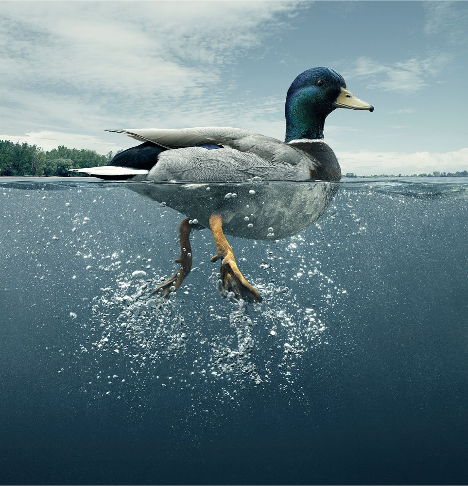 Duck swimming Photography