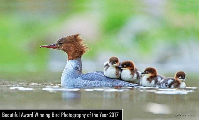 Beautiful Award Winning Bird Photography of the Year 2017