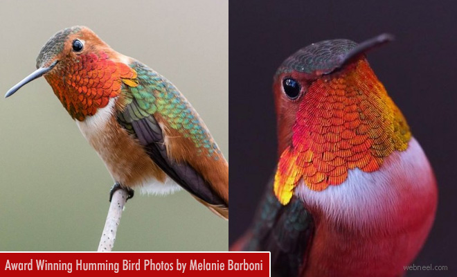 Humming Bird Photography - Best Photos from Melanie Barboni and David Leninson