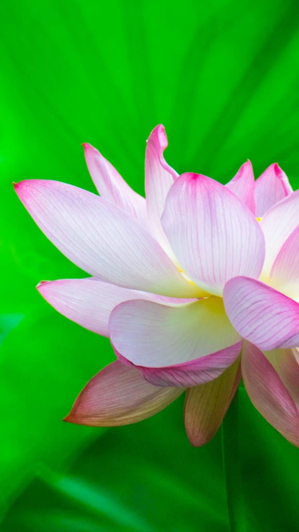 Lotus flower wallpaper hd by aotaro 1 tablet wallpaper lotus flower wallpaper hd by aotaro mightylinksfo
