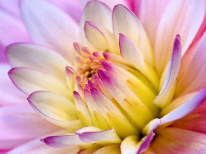 beautiful deliya flower wallpaper