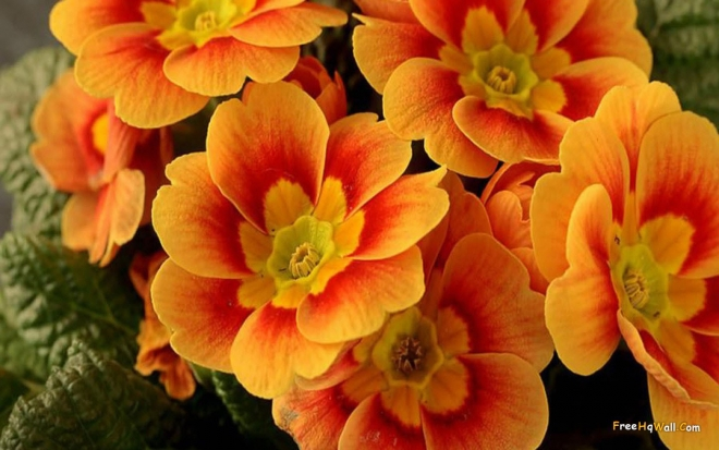 beautiful orange flowers wallpaper