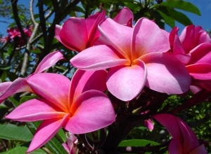 frangipani flower wallpaper