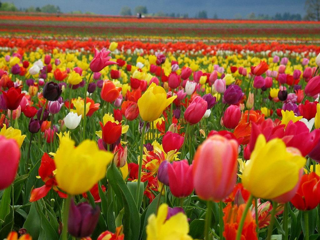 tulip garden wallpaper  original, Garden idea