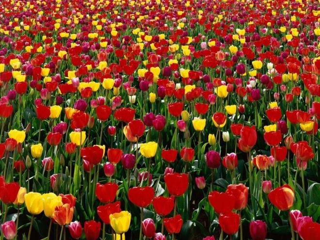 tulips of skagit valley wallpaper