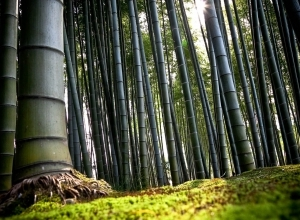 bamboo trees forest wallpaper
