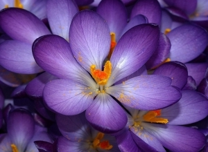 purple crocus flower wallpaper