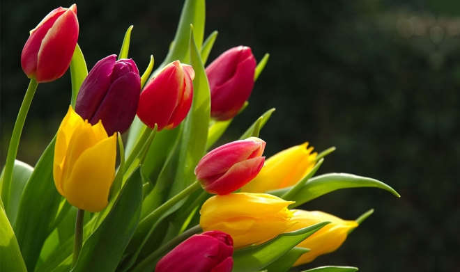 tulips flower wallpaper