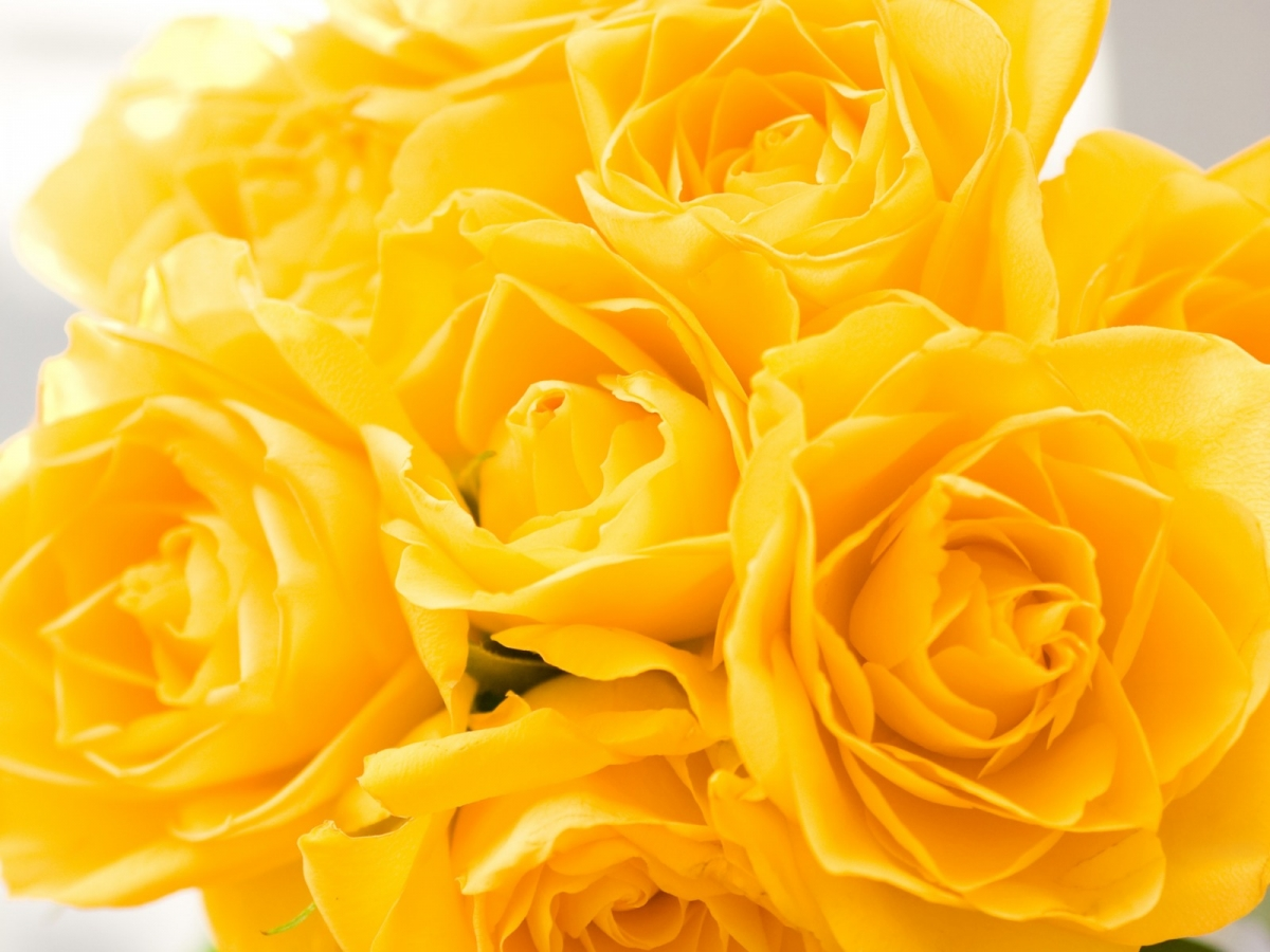 yellow roses flower wallpaper - 1440 Widescreen