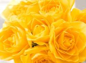 yellow roses flower wallpaper