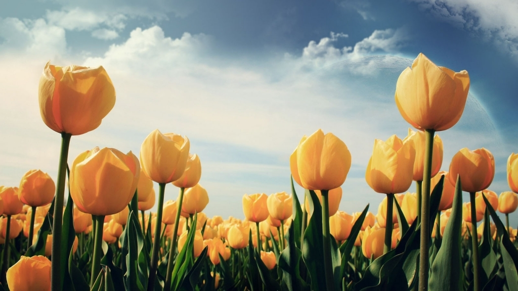 Yellow Tulips Flower Wallpaper  1024