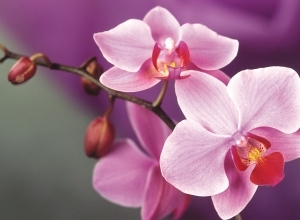 5 pink wallpaper orchid